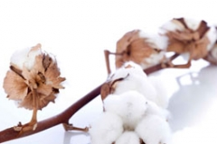 cotton flower over branch